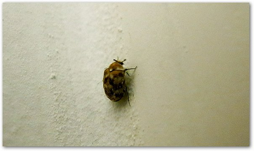 Bugs Commonly Mistaken For Bedbugs Go Green Bedbug Dogs